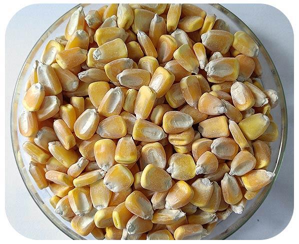 Sementes de Milho - Cativerde 2 (Ideal para Milho Verde) - Caixa com 2 kg