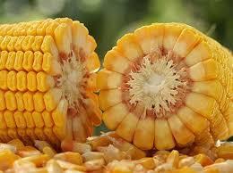Sementes de Milho Orgânico AL Paraguaçu - Saco com 5 kg