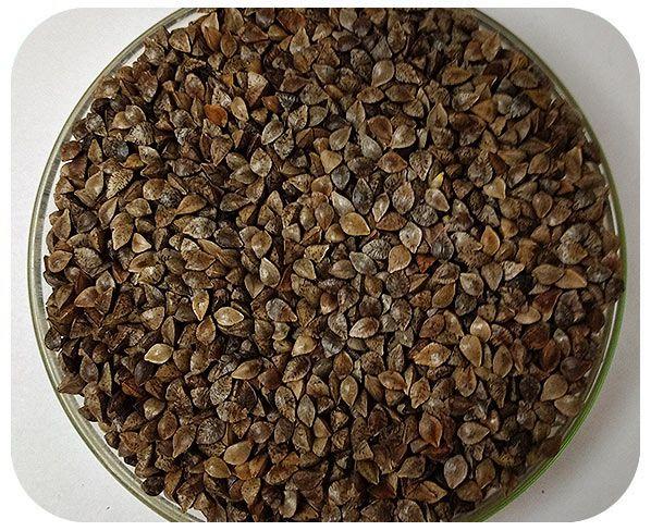 Sementes Trigo Mourisco (Saraceno) - Caixa com 3 kg