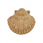 Concha Natural - 73mm