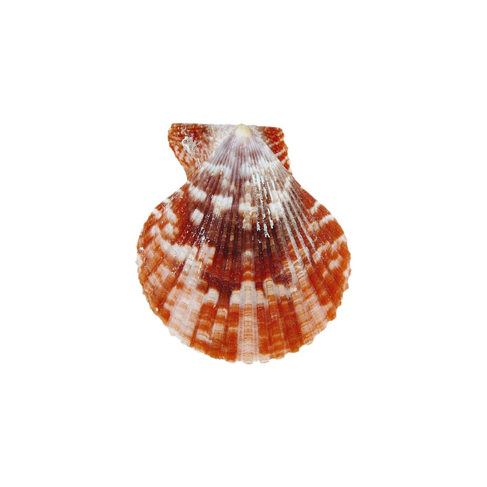 Concha Natural - 51mm  - Nathalia Bijoux®