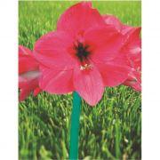 Amaryllis André Pink - cartela com 1 bulbo