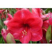 Amaryllis Bolero Pink - cartela com 1 bulbo