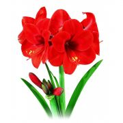 Amaryllis Orange Souvereign - cartela com 1 bulbo
