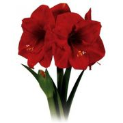 Amaryllis Red Lion - cor vermelha - cartela com 1 bulbo