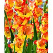 Gladíolos Princes Margaret Rose - Amarelo/Laranja - cartela com 6 bulbos