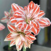 Amaryllis Dancing Queen Vermelho e Branco - Cartela com 1 bulbo