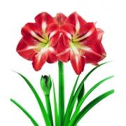 Amaryllis Hermitage Vermelho com Branco - cartela com 1 bulbo