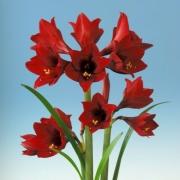 Amaryllis Jewel of Night Vermelho - Cartela com 1 bulbo