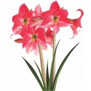 Amaryllis Neon (Pink) - cartela com 01 bulbo