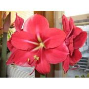 Amaryllis Purple Dream Pink - Cartela com 1 bulbo