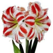 Amaryllis Sidney - Branco/Vermelho - cartela com 1 bulbo