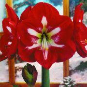 Amaryllis Ster Van Holland - cartela com 01 bulbo