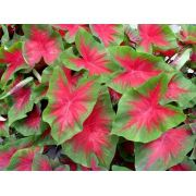 Caladium Freida Hemple - cartela com 01 bulbo