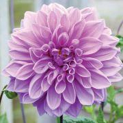 Dalia Lilac Wonder - Cartela com 1 Bulbo