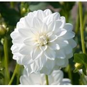 Dália Sibéria Branca - cartela com 01 bulbo