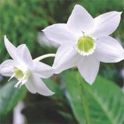 Eucharis Amazônica Branco - Cartela com 2 bulbos