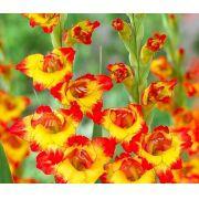 Gladiolos Alana cor amarelo - cartela com 5 bulbos