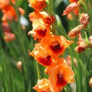 Gladiolos Anique cor Salmao - cartela com 5 bulbos