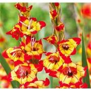 Gladíolos Farah Amarelo e Vermelho - cartela com 05 bulbos