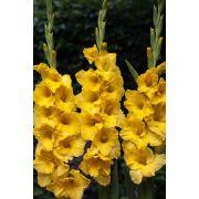 Gladíolos Joyeuse Entree Amarelo - cartela com 6 bulbos