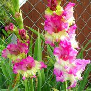 Gladiolos Maggie cor Rosa - cartela com 5 bulbos
