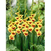 Gladíolos Sylvia Amarelo com Vermelho - cartela com 5 bulbos