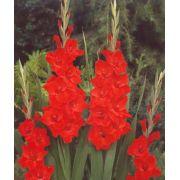 Gladíolos Traderhorn Vermelho -  cartela com 6 bulbos