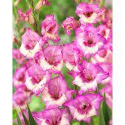 Gladíolos Zippora Rosa - cartela com 5 bulbos