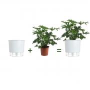 Kit Completo para plantio de Guaimbê com vaso autoirrigável Grande Branco