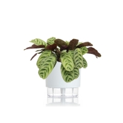 Kit Completo para plantio de Maranta Calathea Burle Marx com vaso autoirrigável Médio Branco
