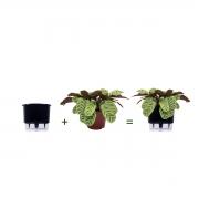 Kit Completo para plantio de Maranta Calathea Burle Marx com vaso autoirrigável Médio Preto