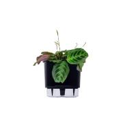 Kit Completo para plantio de Maranta ou Calathea Leuconeura com vaso autoirrigável Médio Preto