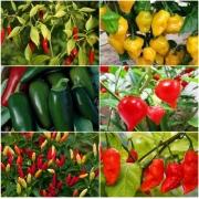 Kit Sementes de Pimentas 6 variedades Topseed Garden