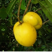 Muda de Abiu Ticuna do Amazonas Pouteria caimito feita de semente