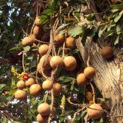 Muda de Abricó de Macaco feita de semente