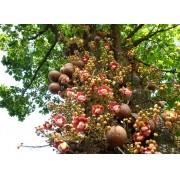 Muda de Abricó de Macaco feita de semente - FC