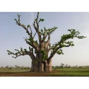Muda de Baobá feita de semente - FC