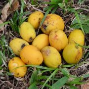 Muda de Cajamanga Anã feita de semente