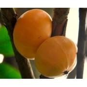 Muda de Cambucá feita de semente - FC
