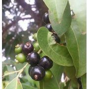 Muda de Cambuí Preto ou popular Mãe Preta feita de semente