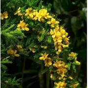 Muda de Cassia Baiana feita de semente - FC