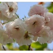 Muda de Cereja Flor feita de Enxerto