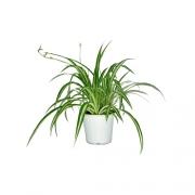 Muda de Clorofito Pote 15