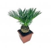 Muda de Palmeira Cyca Revoluta pote 12