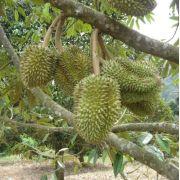 Muda de Durian ou Durião feita de semente