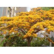 Muda de Flamboyant Amarelo feito de Semente