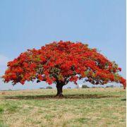 Muda de Flamboyant Vermelho feita de semente