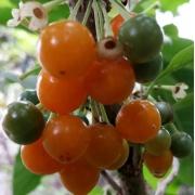 Muda de Fruta do Sabiá feita de estaca - FC
