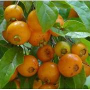 Muda de Guabiroba Campomanesia xanthocarpa feita de semente - FC